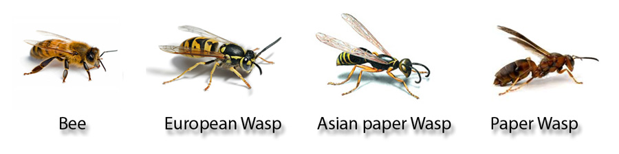 wasp and bee identification chart