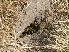 Entrance Hole to wasp nest