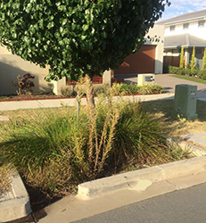 A rain garden (or bio-retention basin) which features a street tree and is overrun with weeds and leaf litter.