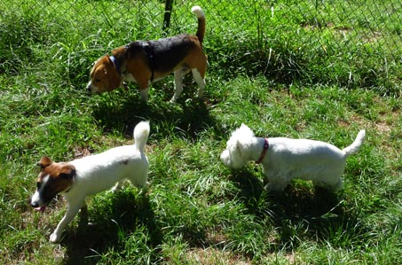 3 dogs playing in grass