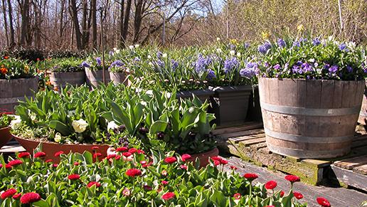 Photo of Floriade pot plants supplied by Yarralumla Nursery